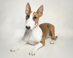 Red bull terrier puppy posed