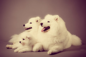 Samoyed dogs