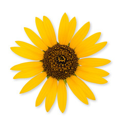 Wild sunflower isolated