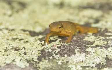 Close Up Newt