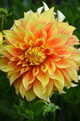 Orange and yellow dahlia flower