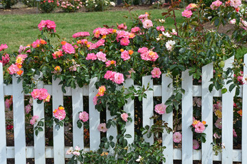 Pink roses and white picket fence