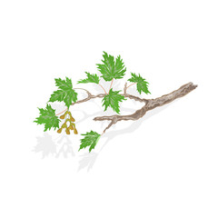 Maple branch and leaves on white background vector illustration