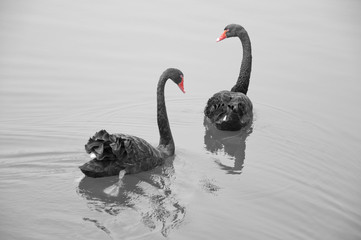 Two black swans