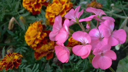 Phlox flower and marigold flower
