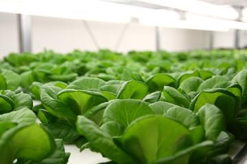 植物工場で育つ野菜たち