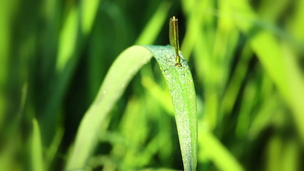 Dew on the Grass and Dragonfly. Macro