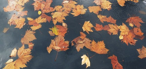 brown maple leaves on the river