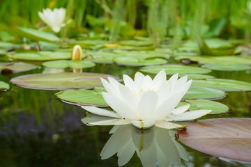White water lily flower and leafs