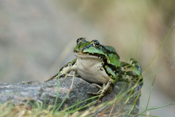Green frog on a stone with legs pointing backwards