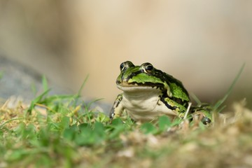 Green frog siting on grass