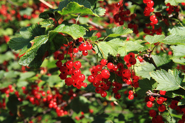 red currant plant with fruits