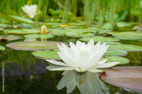 Fotobehang Water planten White water lily flower and leaves