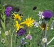 Alpenblumen, Blumenwiese,