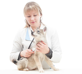 veterinarian and puppy huskies