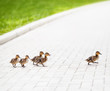 Ducklings go across the road