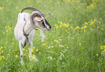 Goat grazed on a meadow
