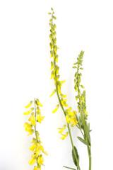 Steinklee; Melilotus, officinalis;