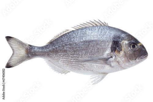 Dorado fish on white background - 67406082