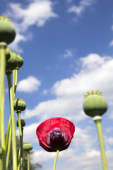poppy flower on a background of blue sky