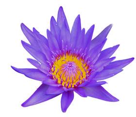 lotus flower isolate on white background