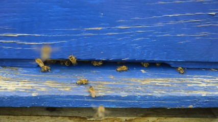 Bee entrance in blue hive
