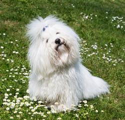 Hunderasse Coton de Tuléar - Baumwollhund
