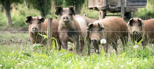 Glücksschweine auf der Weide