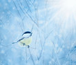 Winter blue background with snow-covered branches and small bird
