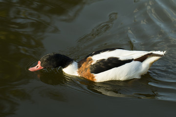 Duck in water – Stock image.