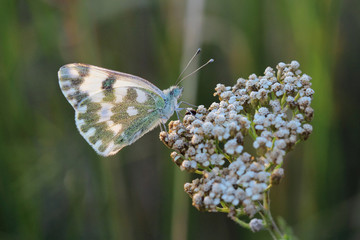 Butterfly - Bath White (Pontia daplidice) on meadow