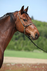 Nice brown horse with show halter, looking at you