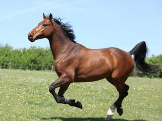 Amazing brown sport pony running on pasturage