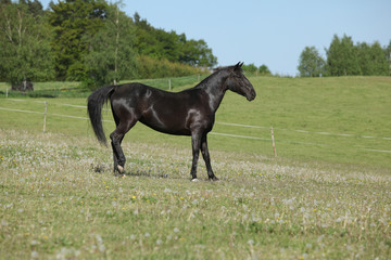 Nice black horse standing on pasturage