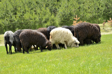 Herd of cute sheep on meadow in the mountains