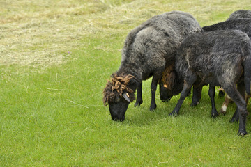 Beautiful short grey sheep grazing grass