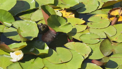 Bullfrog on Lilly Pads