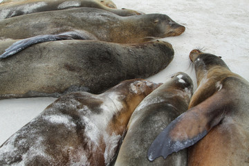 Sea Lions resting on the sand