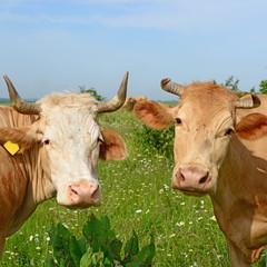 Heads of a cows against a pasture
