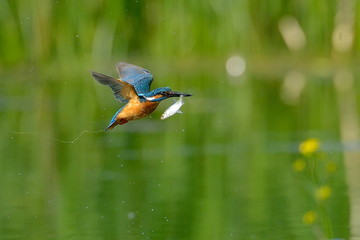 kingfisher in flight (alcedo atthis)
