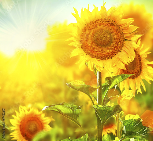 Staande foto Zonnebloem Beautiful sunflowers blooming on the field. Growing sunflower
