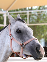 Beautiful grey Arabian horse