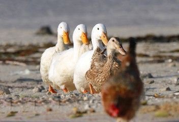 Lineup of domestic ducks