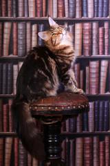 Tabby Maine Coon cat