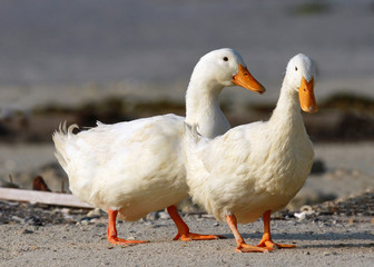 Pair of beautiful domestic ducks