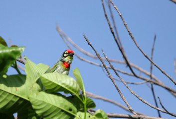 A beautiful Coppersmith Barbet bird
