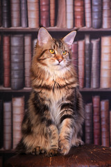 Tabby Maine Coon cat