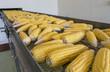 Fresh corns on transmission belt in factory
