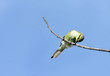 A bee-eater hitting the prey on the branch