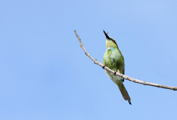 A beautiful green bee-eater with prey